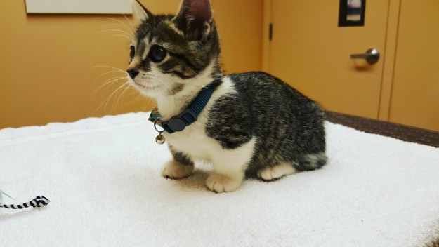 Dwarfism In Cats