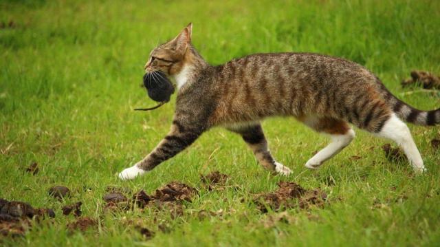 macska-eger
