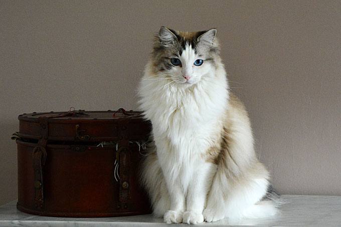 a white ragdoll cat with blue eyes looking at the camera near a hat box